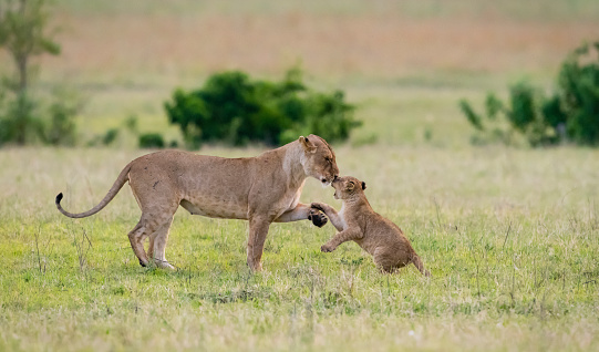 Animal Wildlife「Baby lion kissing mother and playing in the morning , Africa」:スマホ壁紙(19)