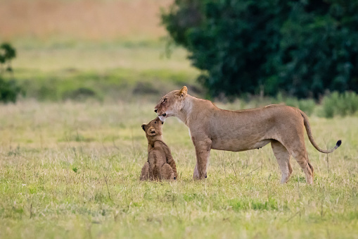 Kissing「Baby lion kissing mother, Africa」:スマホ壁紙(11)