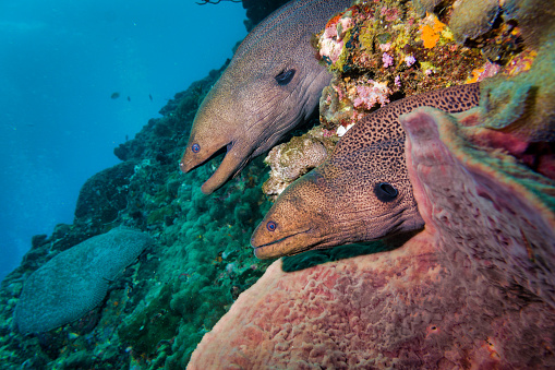 Eco Tourism「Two Giant Moray Eels (Gymnothorax javanicus) symmetrical in Coral reef」:スマホ壁紙(1)