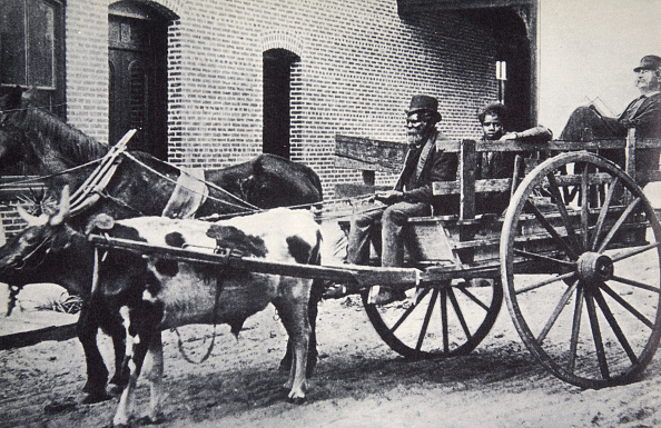 Wild Cattle「Mark Twain American Author In The Back Of A Horse And Ox Drawn Cart circa 1900」:写真・画像(10)[壁紙.com]
