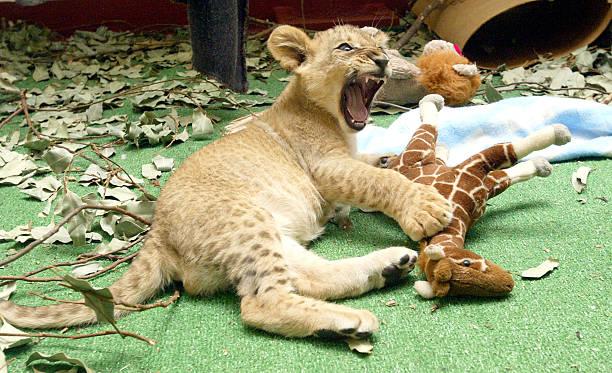 Eleven-Week-Old Lion Cubs At The San Francisco Zoo:ニュース(壁紙.com)
