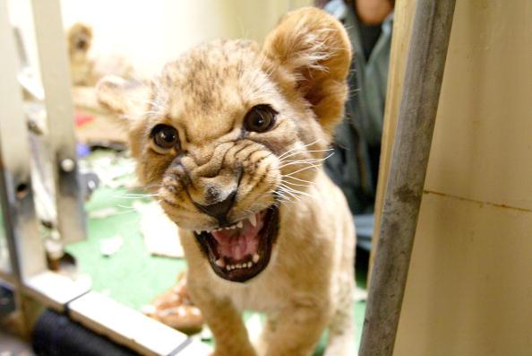Animal Whisker「Eleven-Week-Old Lion Cubs At The San Francisco Zoo」:写真・画像(18)[壁紙.com]