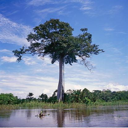 Amazon Rainforest「A huge tree」:スマホ壁紙(1)