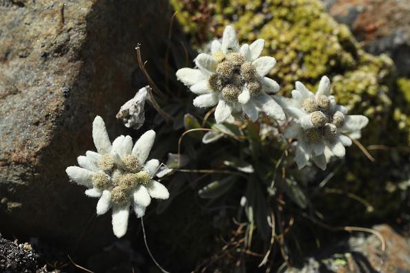 Edelweiss - Flower「Travel Destination: Tyrolean Alps」:写真・画像(6)[壁紙.com]