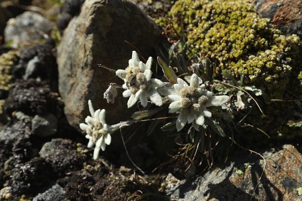 Edelweiss - Flower「Travel Destination: Tyrolean Alps」:写真・画像(5)[壁紙.com]