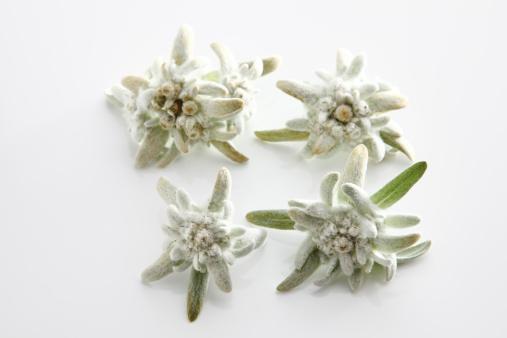 Edelweiss - Flower「Edelweiss flowers (Leontopodium alpinum), elevated view」:スマホ壁紙(4)