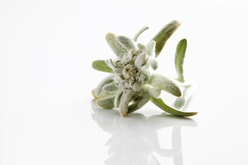 Edelweiss - Flower「Edelweiss flowers (Leontopodium alpinum)」:スマホ壁紙(5)