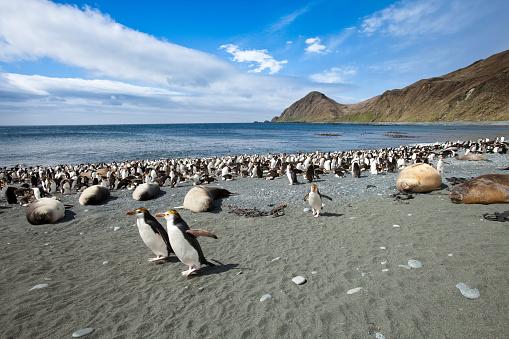 Sub-Antarctic Islands「Royal penguins and Southern elephant seals at Sandy Bay on Macquarie Island」:スマホ壁紙(14)