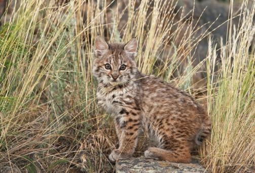 Kitten「bobcat (felis rufus) kitten sits amid wild grasses」:スマホ壁紙(2)
