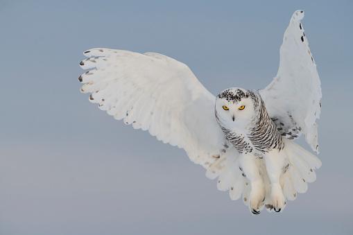 Flapping Wings「Snowy owl hovering, bird in flight」:スマホ壁紙(16)