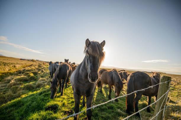 Herd of horses in Iceland:スマホ壁紙(壁紙.com)