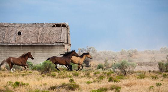 Bay Horse「herd of horses running on ranch fields in utah」:スマホ壁紙(12)