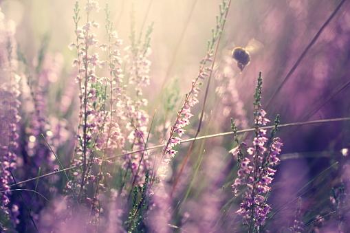 花畑「マルハナバチのヘザー」:スマホ壁紙(17)