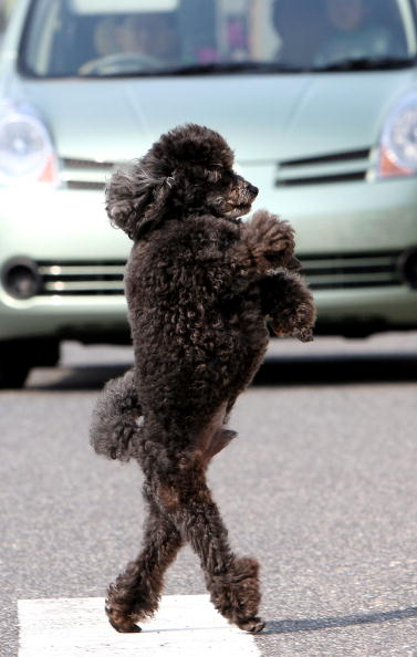 Animal Themes「Poodle Walks On Its Hind Legs」:写真・画像(17)[壁紙.com]