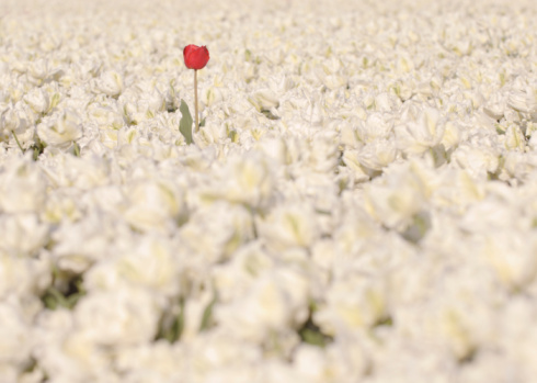 チューリップ「One red tulip growing in field of white tulips」:スマホ壁紙(13)