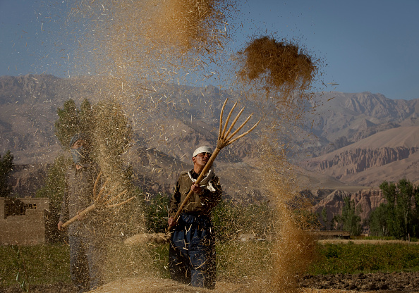 Grass Family「Afghans harvest Wheat As Opium Trade Declines」:写真・画像(18)[壁紙.com]