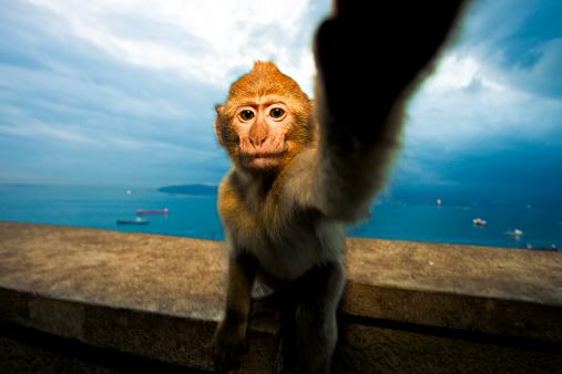自撮りする猿