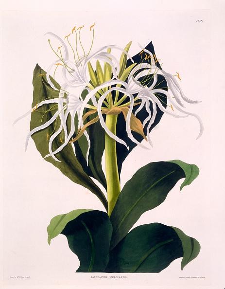 Light Bulb「Pancratium Speciosum」:写真・画像(2)[壁紙.com]