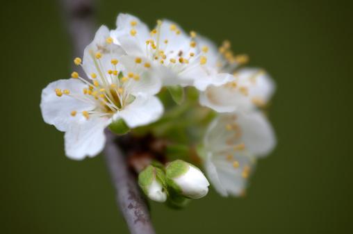 梅の花「Greengage plum blossom」:スマホ壁紙(12)