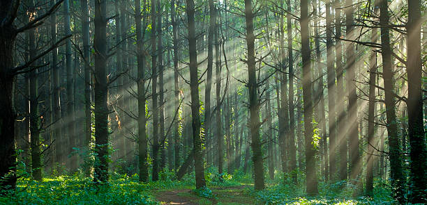 Sunlight Filtering Through a Misty Foggy Forest:スマホ壁紙(壁紙.com)