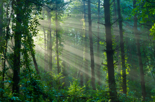 Old Growth Forest「Sunlight Filtering Through a Foggy Forest in Summer」:スマホ壁紙(12)