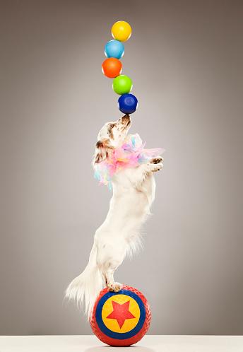 Skill「Performing dog balancing balls on nose」:スマホ壁紙(13)