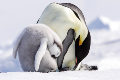 Baby animal「 Emperor Penguin」:スマホ壁紙(0)