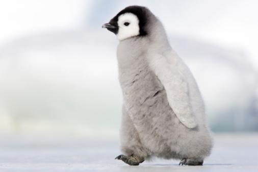 Snow Hill Island「 Emperor Penguin」:スマホ壁紙(11)