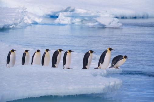 Emperor Penguin「Emperor penguins (Aptenodytes forsteri) line up at water's edge」:スマホ壁紙(13)