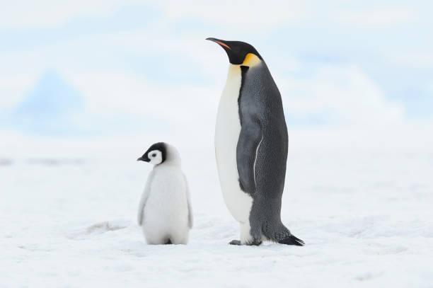 Emperor penguin (Aptenodytes forsteri), chick and adult. Location: Snow Hill Island, Weddell Sea, Antarctica.:スマホ壁紙(壁紙.com)