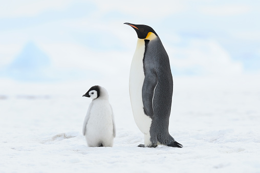 Animal Family「Emperor penguin (Aptenodytes forsteri), chick and adult. Location: Snow Hill Island, Weddell Sea, Antarctica.」:スマホ壁紙(1)