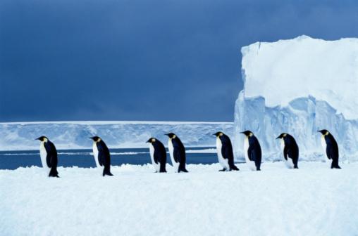 Weddell Sea「Emperor penguins (Aptenodytes forsteri) walking in a row, side view」:スマホ壁紙(18)