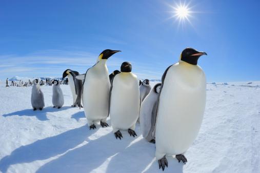Antarctic Peninsula「Emperor penguin, Aptenodytes forsteri」:スマホ壁紙(9)