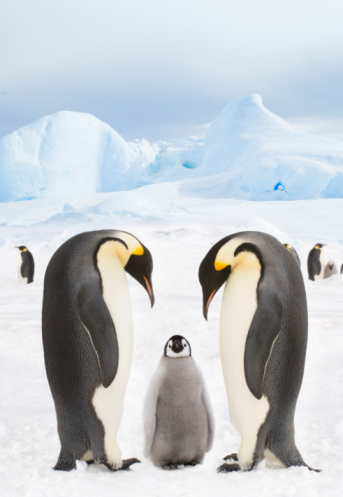 Snow Hill Island「Emperor Penguins with chick」:スマホ壁紙(9)