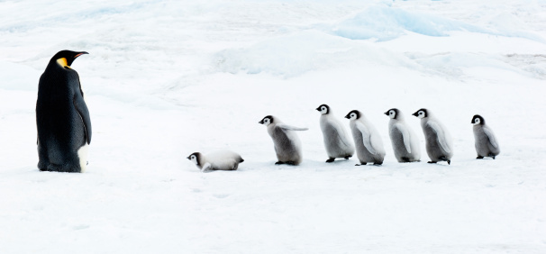 Walking「Emperor penguin Adult and  chicks in the snow」:スマホ壁紙(1)