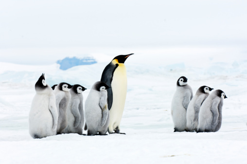 Snow Hill Island「Emperor penguin Adult and chicks in the snow」:スマホ壁紙(12)