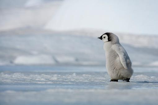 Snow Hill Island「Emperor Penguin Chick in Antarctica」:スマホ壁紙(16)