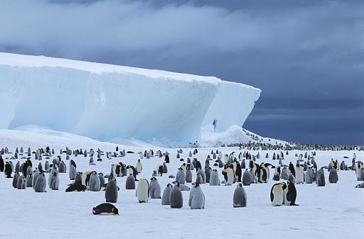 Weddell Sea「Emperor Penguin (Aptenodytes forsteri) colony and iceberg」:スマホ壁紙(17)