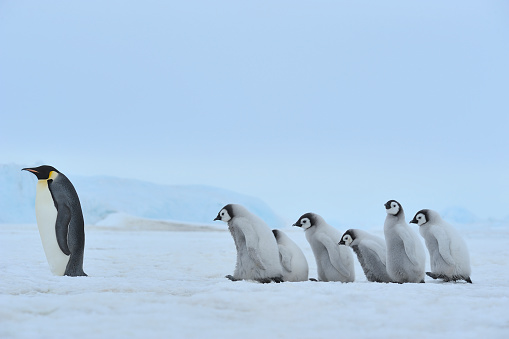 Weddell Sea「Emperor penguins, Aptenodytes forsteri, Group of Chicks with one Adult, Snow Hill Island, Antartic Peninsula, Antarctica」:スマホ壁紙(15)