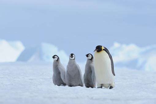 Snow Hill Island「Emperor penguins, Aptenodytes forsteri, Pair with Chick, Snow Hill Island, Antartic Peninsula, Antarctica」:スマホ壁紙(17)