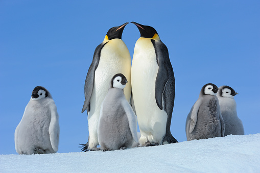 Weddell Sea「Emperor penguins, Aptenodytes forsteri, Pair with Chicks, Snow Hill Island, Antartic Peninsula, Antarctica」:スマホ壁紙(13)