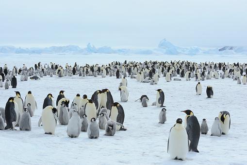 Weddell Sea「Emperor penguins, Aptenodytes forsteri, Penguin Colony with Adults and Chicks, Snow Hill Island, Antartic Peninsula, Antarctica」:スマホ壁紙(11)