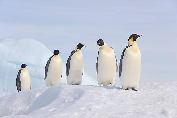 Emperor Penguin (Aptenodytes forsteri).:スマホ壁紙(壁紙.com)