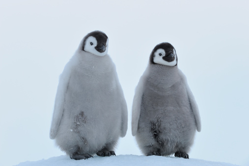 Snow Hill Island「Emperor penguin」:スマホ壁紙(14)