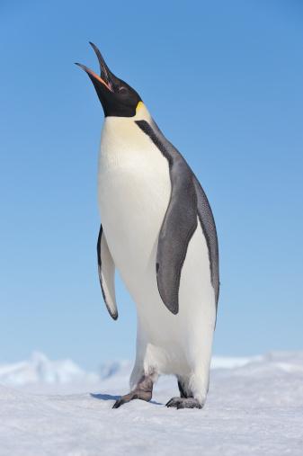 Snow Hill Island「Emperor Penguin (Aptenodytes forsteri)」:スマホ壁紙(15)