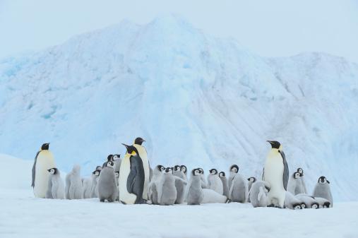 Large Group Of Animals「Emperor penguin」:スマホ壁紙(15)