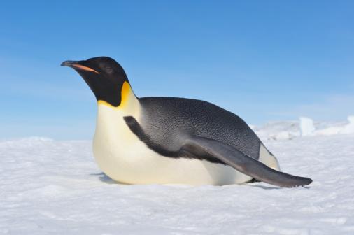 Antarctic Peninsula「Emperor Penguin (Aptenodytes forsteri).」:スマホ壁紙(12)