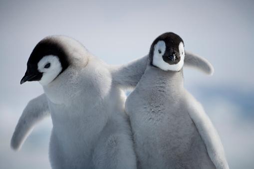 Snow Hill Island「Emperor Penguin Chicks in Antarctica」:スマホ壁紙(6)