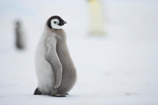 Snow Hill Island「Emperor Penguin (Aptenodytes forsteri) chick, Snow Hill Island, Weddell Sea, Antarctica」:スマホ壁紙(13)