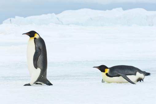 Emperor Penguin「Emperor Penguins in snowy landscape」:スマホ壁紙(7)
